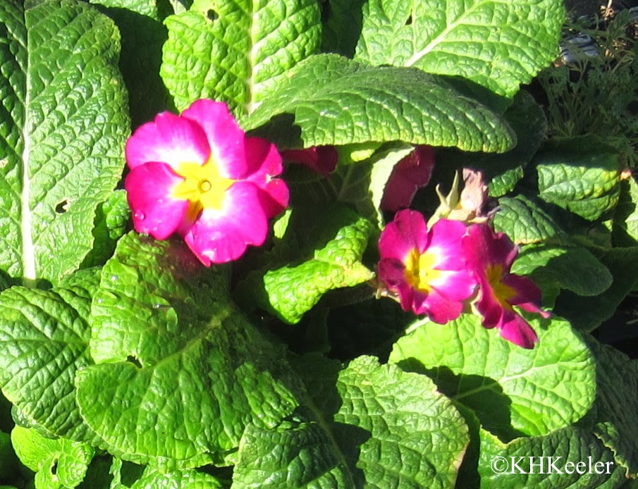primrose, Primula hybrid