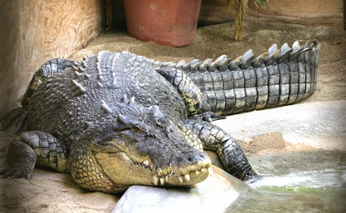 Large crocodile in park