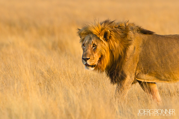 A male lion in morning light