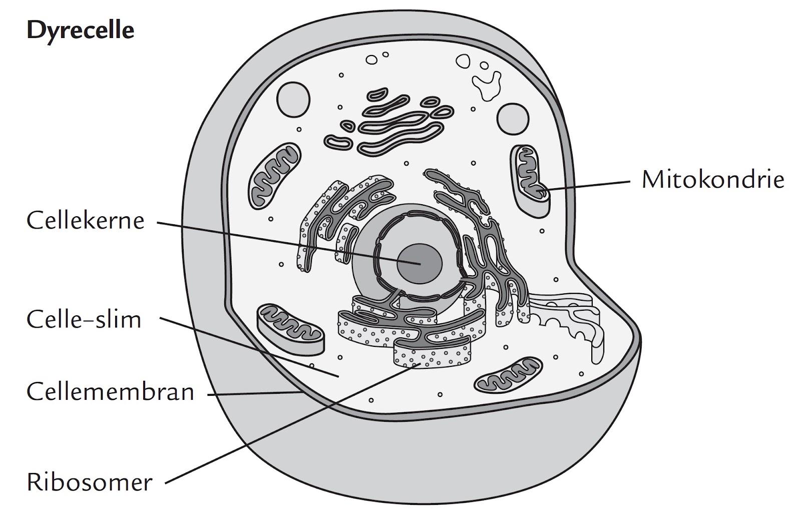 mitokondrier i sædceller