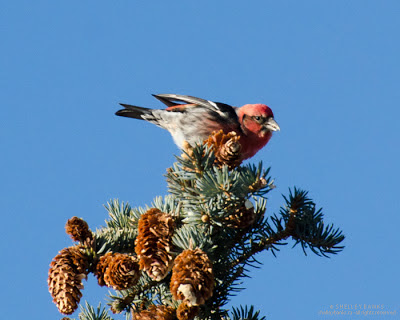 White-winged Crossbill, at the very top of the tree. photo © Shelley Banks, all rights reserved.