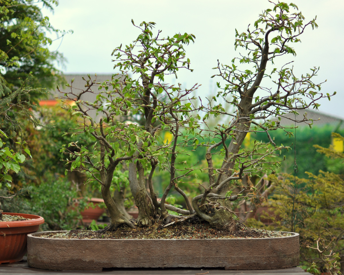 Maros Bonsai Blog Hornbeam Forest