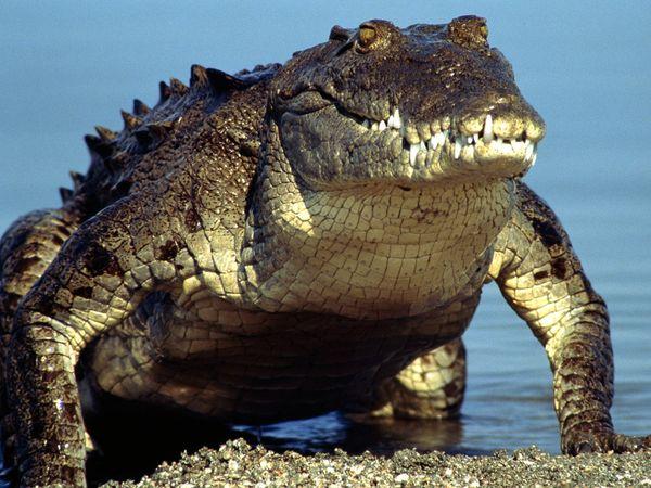 World's Largest Salt Water Crocodile Dies, Villagers Mourn ...