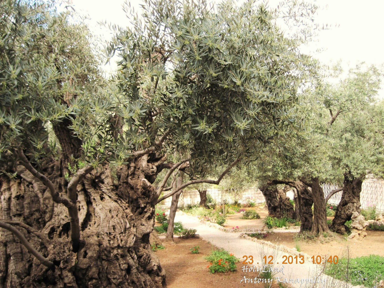 My holy land trip for Age olive trees garden gethsemane