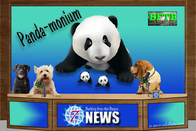 News story about Panda having twins