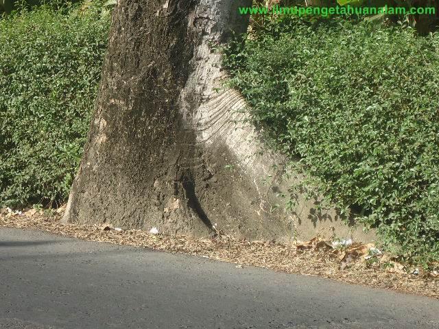 Akar Serabut Pohon Kapuk Randu