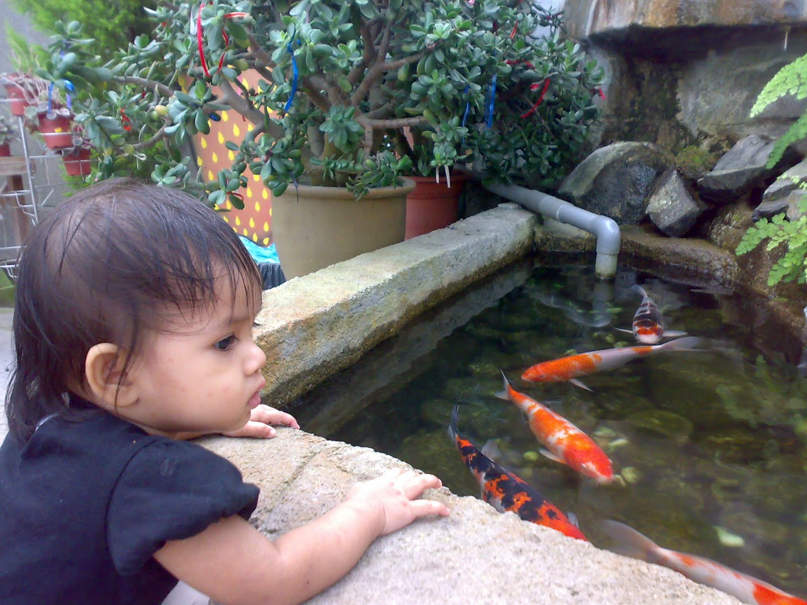 Ornamental fish aquarium management of ornamental fish for Coy fish tank