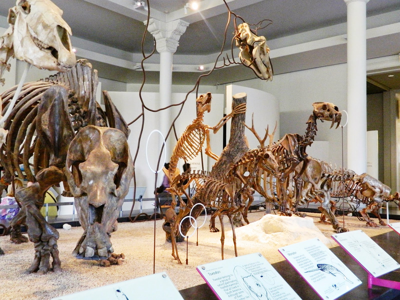 new york city american national history museum animal and dinosaur bones poses inside clear