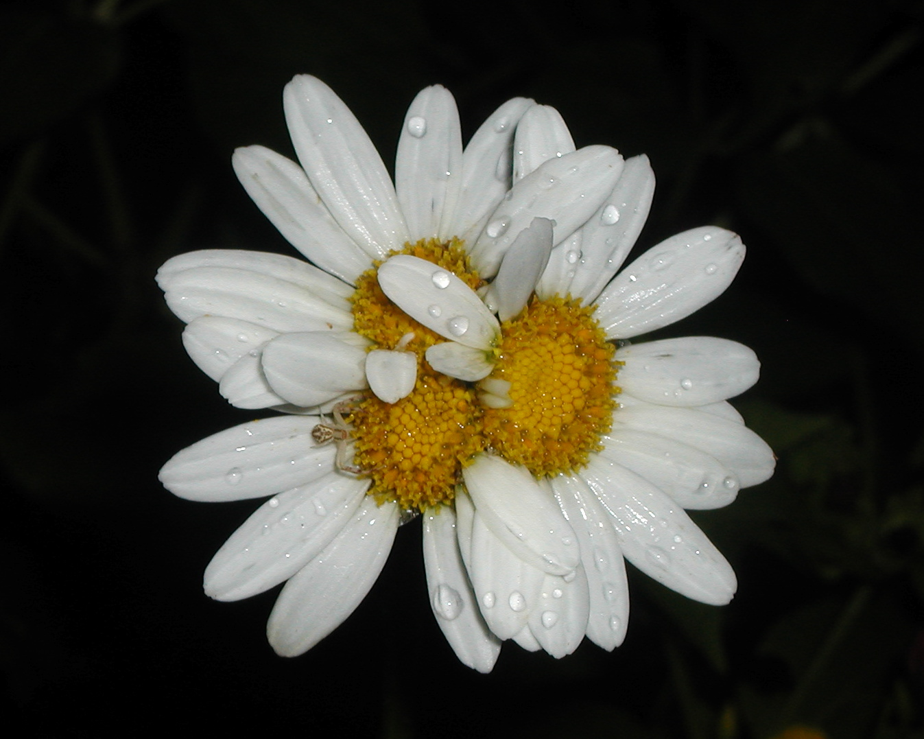 Bittersweet farms siamesedouble headed shasta daisy i had noticed one clump of shasta daisies has been exhibiting siamese or double headed flowers as i was walking through my gardens after a late afternoon izmirmasajfo Image collections