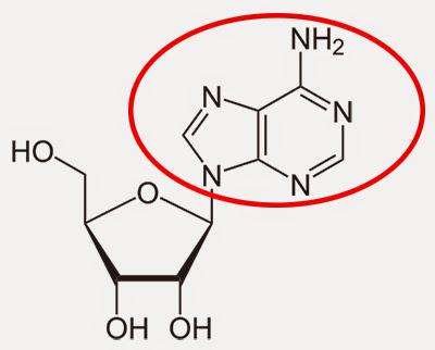 Reaksi+Kafein+Di+Tubuh