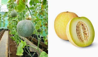 Manfaat dan Kandungan Buah Melon Untuk Kesehatan Tubuh