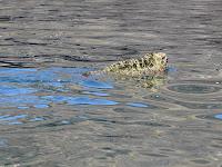Marine iguana swimming, Galapagos Islands, Ecuador