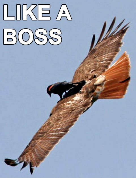 Badass Bird Riding An Eagle - Like A Boss