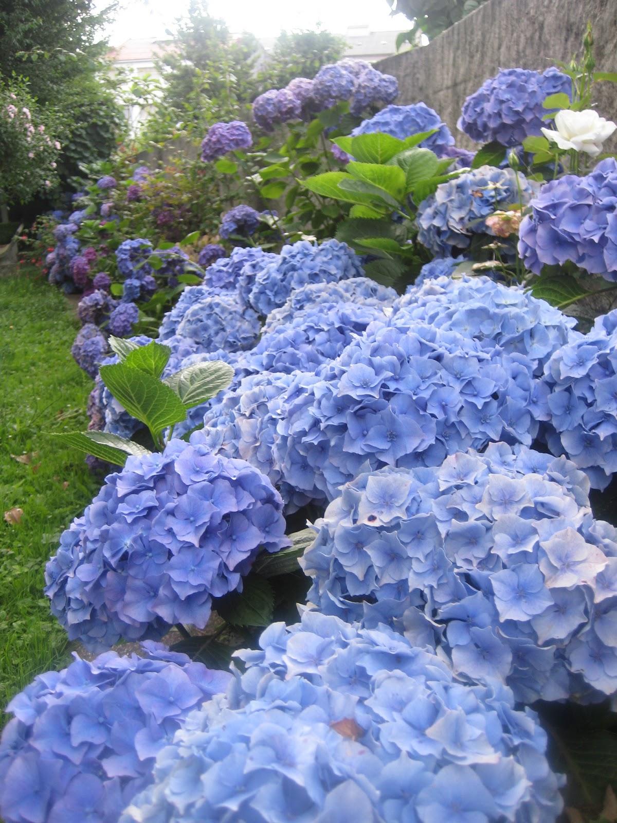 Floresamatxo todo sobre las flores consejos para cuidar - Cuando podar las hortensias ...