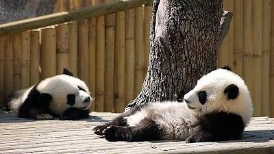 osos panda pequeños