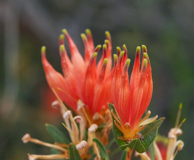 Many-flowered Honeysuckle (Lambertia multiflora)