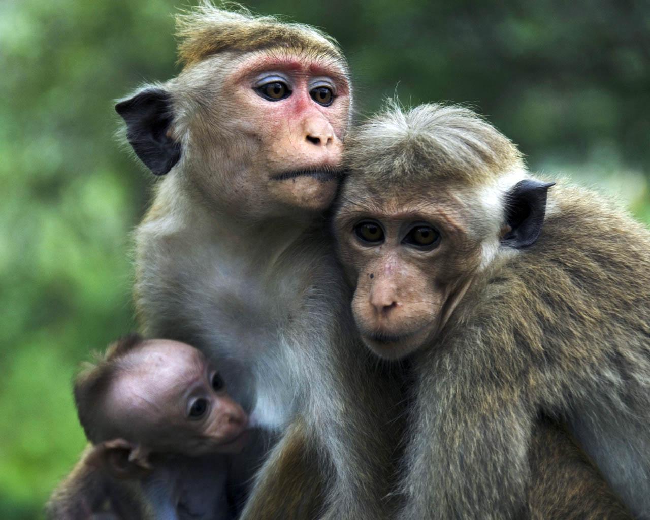 Desktop Nature Wallpaper Baby Monkey Wallpapers Monkey