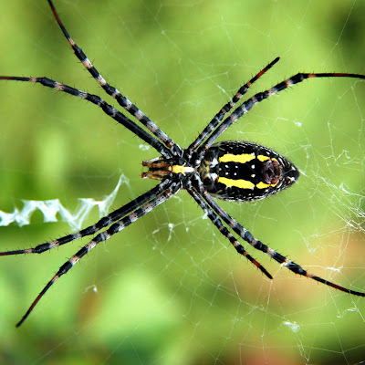 gambar laba-laba, spider wallpaper