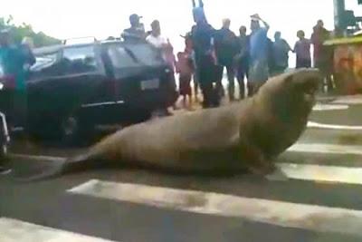 Singa laut menyeberangi jalan