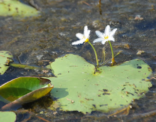 Water Snowflake (Nymphoides indica)