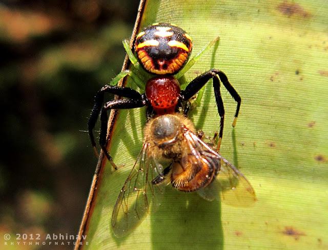 Spider Catching Its Prey