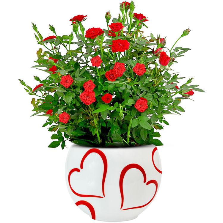 Jardim da Terra COMO CULTIVAR Mini rosas