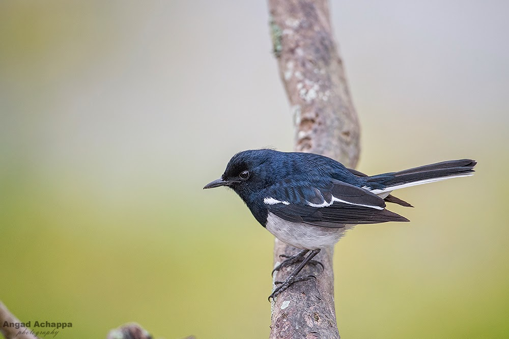oriental magpie robin, magpie robin, robins, birds of india, birding, bird photography, birds of bandipur, birding in india, wildlife photography, Bandipur, Bandipur National Park, Karnataka, India, Wildlife Photography, Indian Wildlife, top indian wildlife photographers, top indian photographers