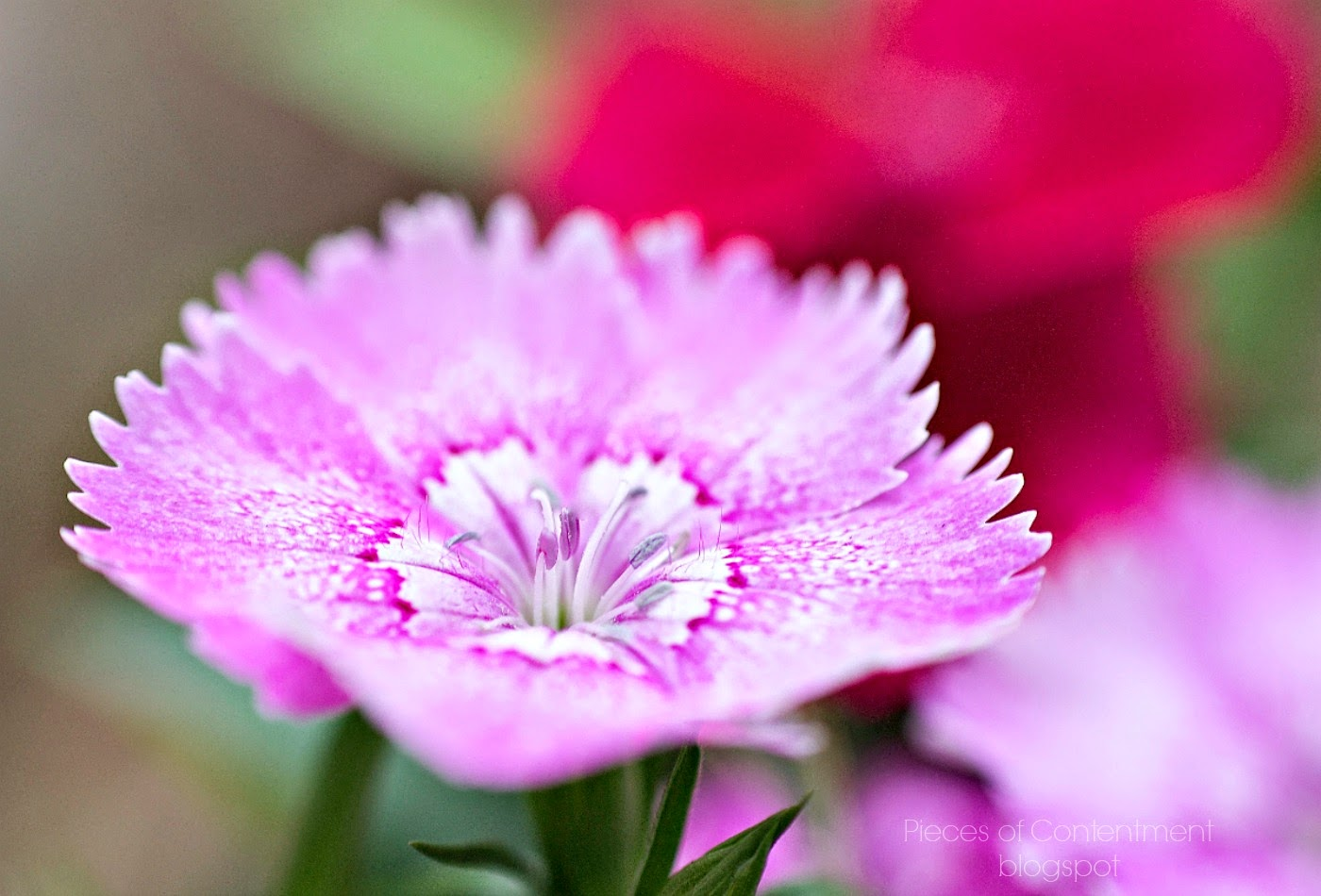 Dianthus flower on seedling