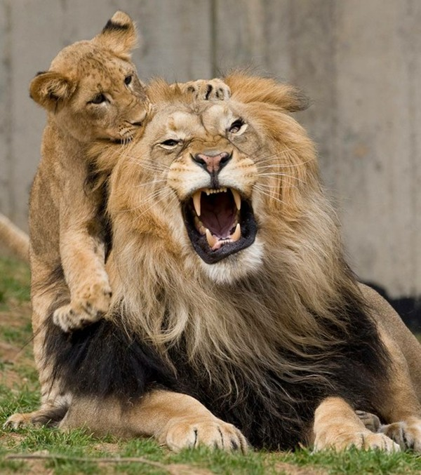 funny animal pictures, lion father and son