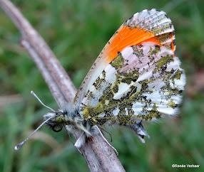 foto's vlinders