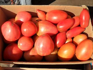 Vkusniogorod - Начало августа на даче – помидоры 1