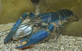 Ternakan Lobster Air Tawar Blue Cherax Pengenalan Lobster Air Tawar