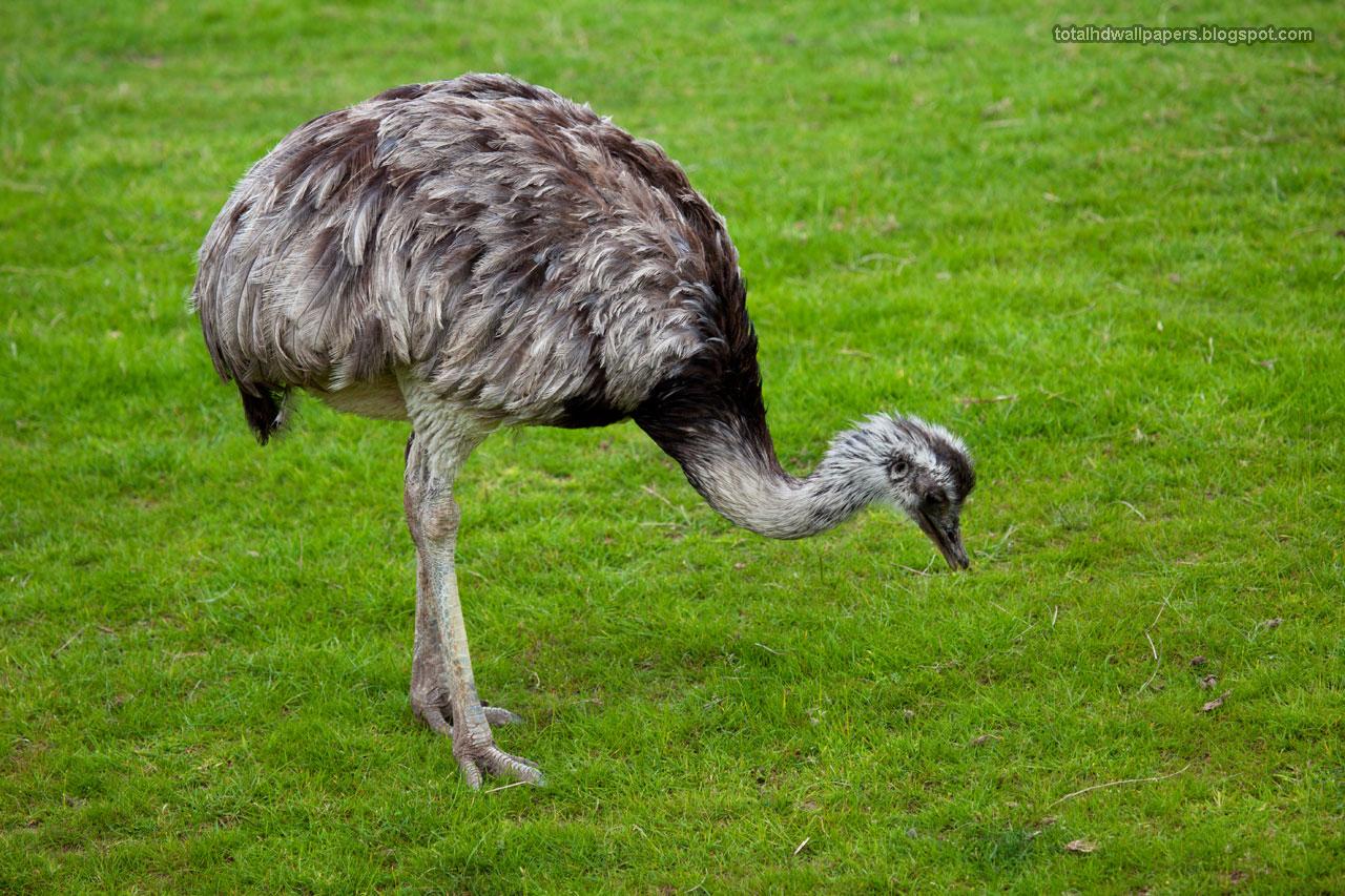 birds desert ostrich hd - photo #24