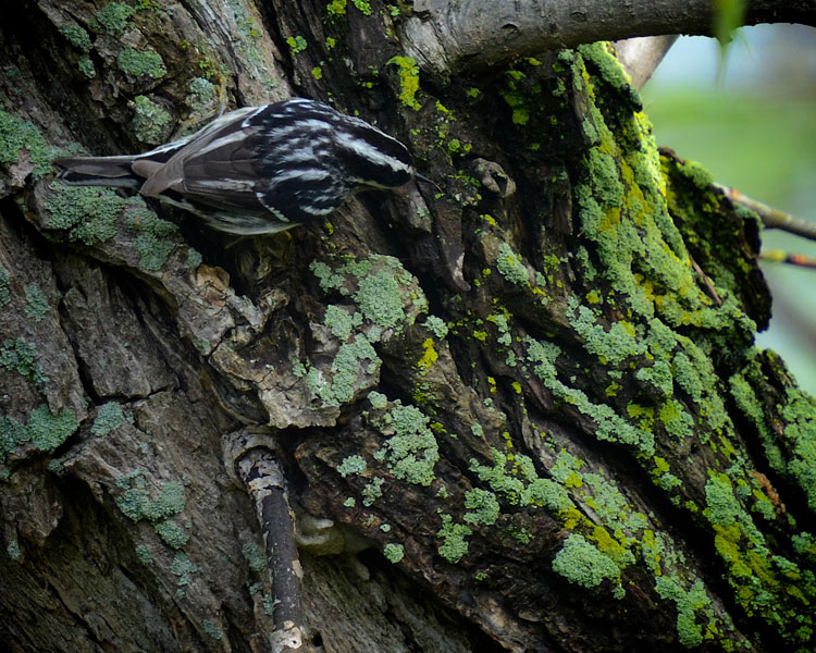Black and White Warbler searches in crevices and under bright green lichens looking for insects, spiders, and eggs.