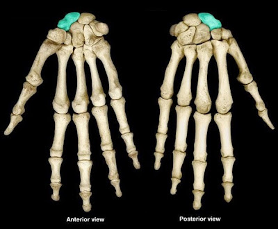 ладьевидная кость os scaphoideum