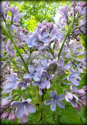 lilacs, blue mauve lilac, mauve, flowers, spring flowers, Canadian flowers