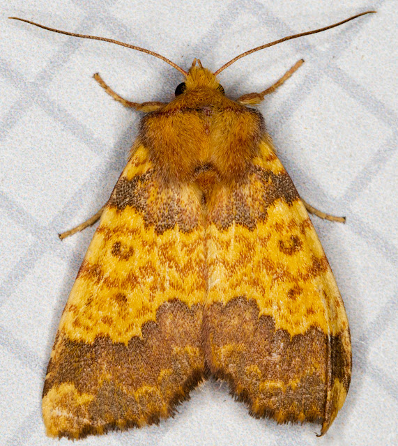 Barred Sallow, Xanthia aurago.   Hayes, 4 October 2015.