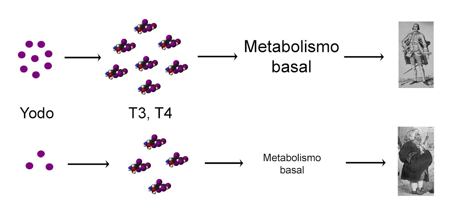 Hormonas : La tiroides y los kilos de más