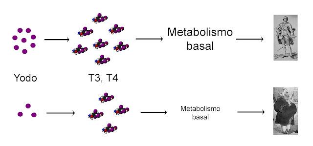 Las hormonas tiroideas aumentan el metabolismo basal, lo que regula la masa corporal