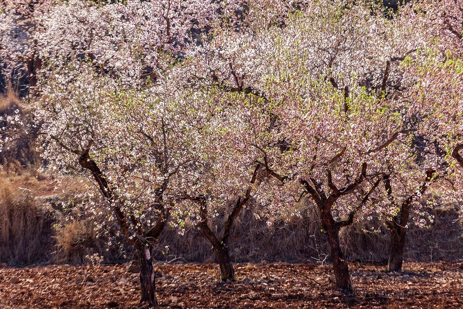 Floración, Jumilla, Almendros