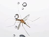 Curiosidades  mosquito