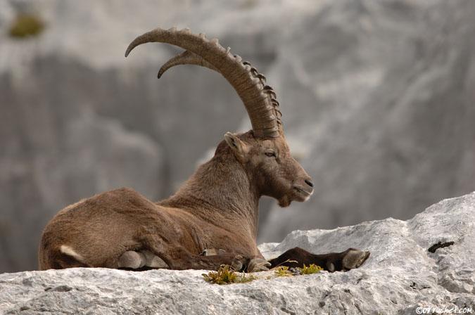 goats diets