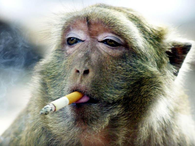 Ce singe en captivit fume cigarette sur cigarette