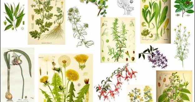 Plantas medicinales de la a a la z jardin botanico for Plantas medicinales y ornamentales