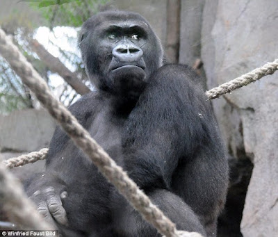 Gorilla from Shira Frankfurt Zoo in Germany with dead child.