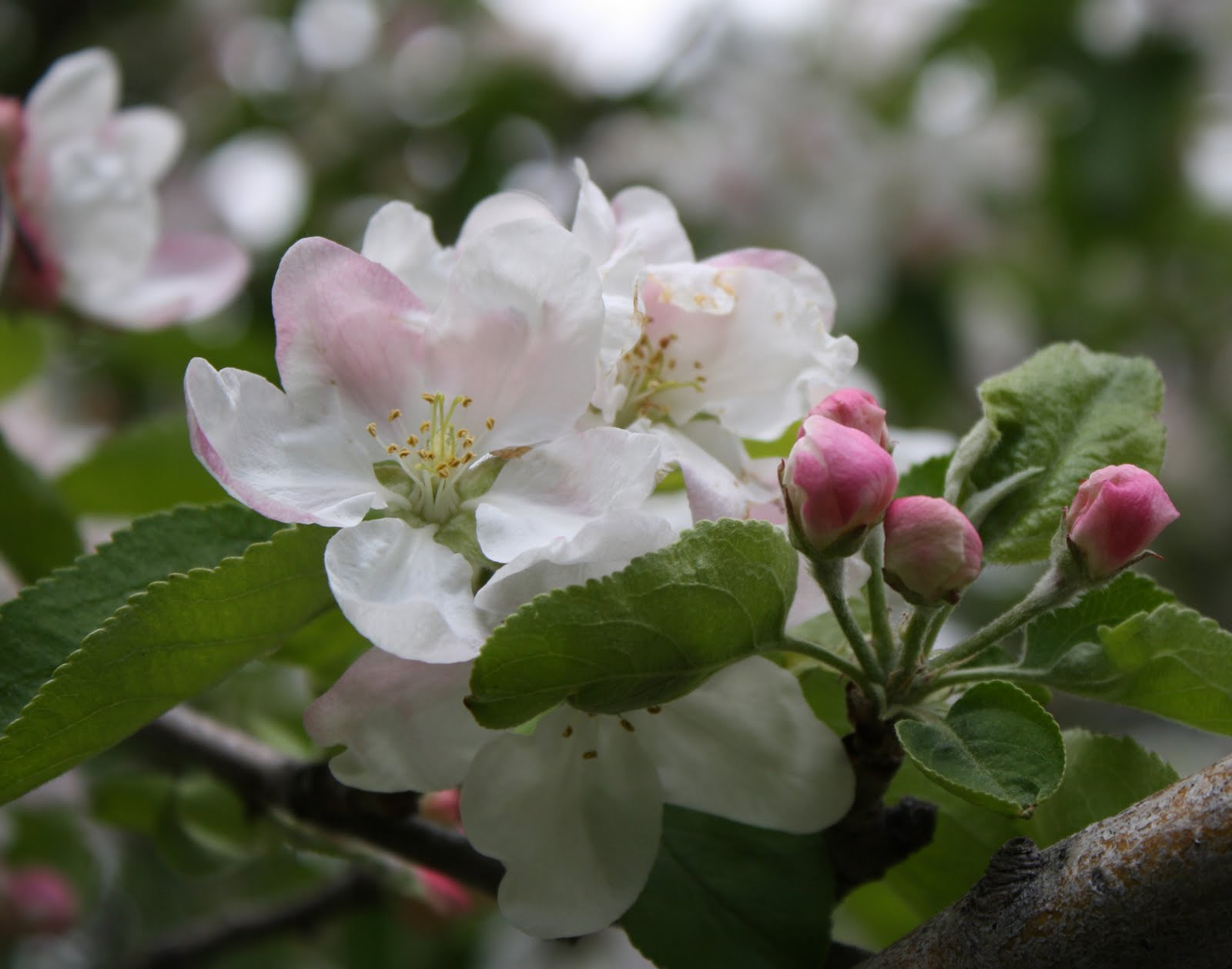 Living and Dyeing Under the Big Sky: Apple Blossoms
