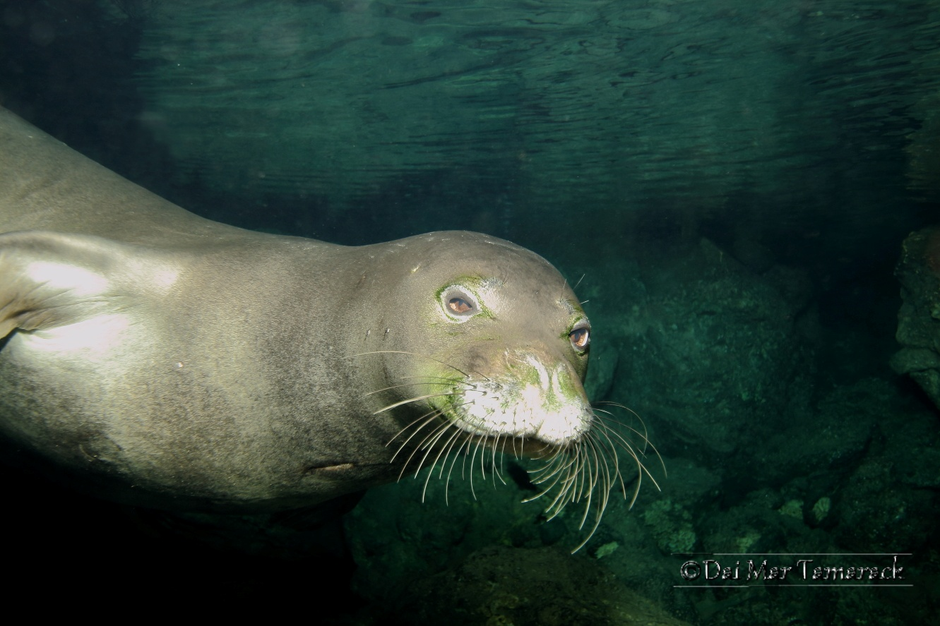 caribbean monk seal essay Distribution and abundance of the extinct caribbean monk seal (monachus tropicalis), this study reconstructed the population size,.