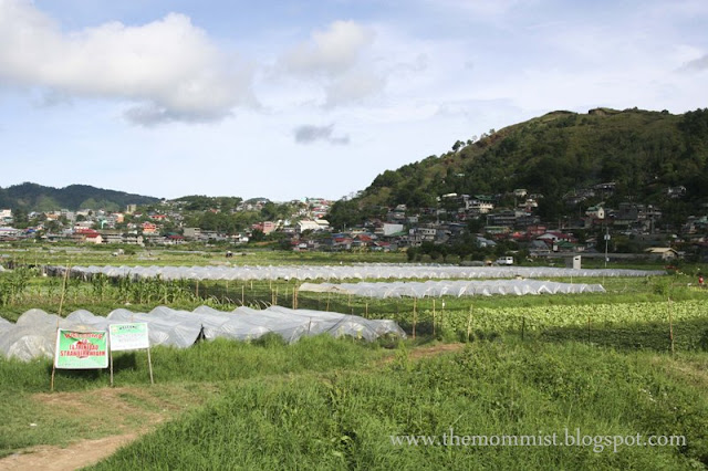 Strawberry fields at Benguet