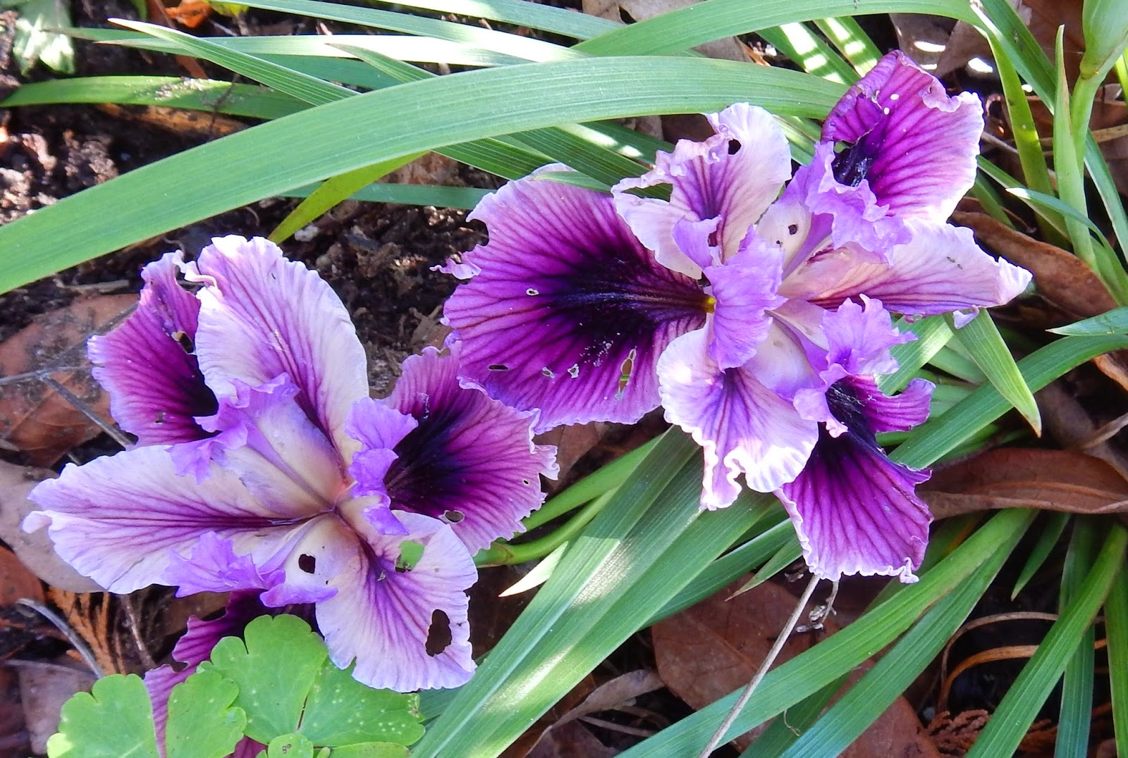 World Of Irises Lifting Dividing And Transplanting Pacifica Iris