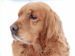 Golden Cocker retriever wallpapers